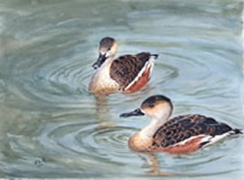 Wandering Whisling Ducks watercolour by J Horn